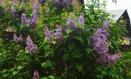 Lilac Bush Stock Foto
