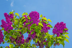 Lilac bush. Against the blue sky. fragment of spring Stock Photos