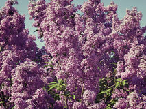 Lilac bush  against the blue sky Royalty Free Stock Images