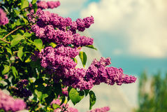 Lilac bush against sky Stock Photography