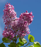 Lilac bush on a background of blue sky Royalty Free Stock Photography