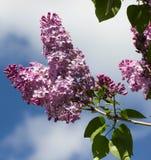 Lilac bush on a background of blue sky Stock Image