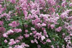 Lilac bush background Stock Photos