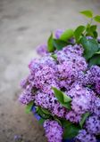 Lilac bush in bloom in the garden. In spring royalty free stock image