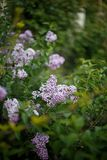 Lilac bush in bloom in the garden. In spring stock photos