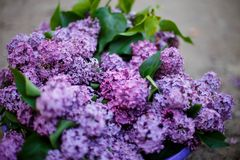 Lilac bush in bloom in the garden. In spring royalty free stock images