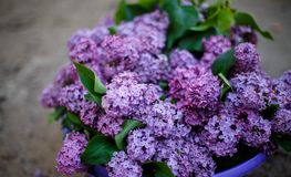 Lilac bush in bloom in the garden. In spring stock photography