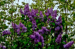 Lilac bush in bloom. Royalty Free Stock Photo