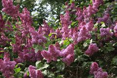 Lilac bush Royalty Free Stock Photography
