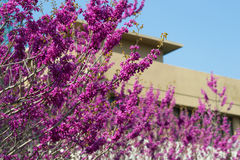 Lilac bush blooming. The spring lilac branches with bush blooming stock photo