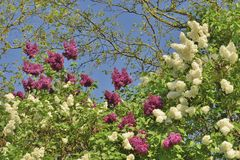 Lilac bush in botanical garden Stock Images