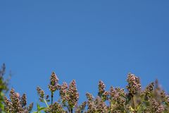 Lilac bush at the bottom of the frame against the blue sky. Place for text. Lilac bush at the bottom of the frame against the blue sky. Place for text royalty free stock image