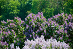 Lilac bush Royalty Free Stock Images
