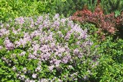 Lilac bush in bright sunshine Stock Photos