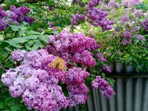 Lilac bush and butterfly stock image