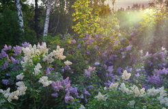 Lilac bush in morning Stock Image