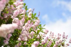 Lilac bush over sky background stock images