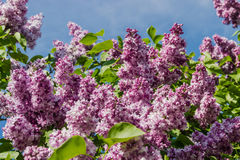 Lilac bush with pale purple flowers Stock Image