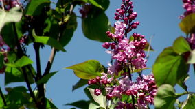 Lilac bush parts stock video footage