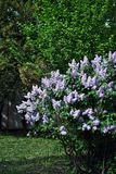 Lilac bush with purple flowers, blooming in green garden. Lilac bush with purple flowers, blooming in green spring garden stock images