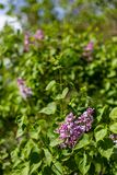 Lilac bush with purple inflorescences in Novosibirsk, Russia royalty free stock images