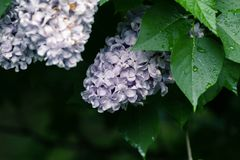 Lilac bush after rain. Natural color for decoration and background. Lilac in the garden after the rain. Natural color for decoration and background stock image