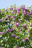 Lilac bush red Stock Photography