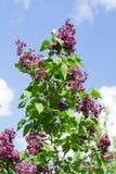 Lilac bush red Stock Image