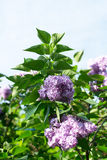 Lilac bush red Royalty Free Stock Images