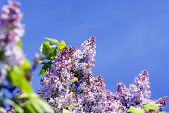 Lilac bush with sky. Simple yet beautiful lilac tree in bloom with cute little purple flowers contrasted by a bright blue sky, perfect floral background with Stock Images