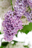 Lilac bush in the spring Stock Images