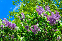 Lilac bush spring Stock Images
