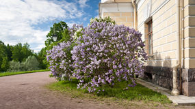 Lilac bush in spring Royalty Free Stock Images
