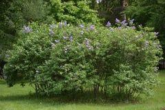 Lilac bush Stock Photos