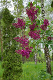 Lilac bush in spring time, young purple flower twigs, vibrant green foliage background, forest, tranquility purity Royalty Free Stock Image