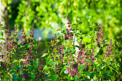 Lilac bush in spring time, young purple flower twigs, vibrant green foliage background, forest Royalty Free Stock Image