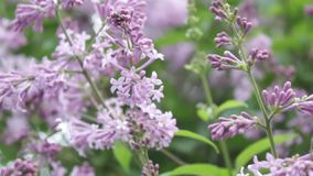 A lilac bush in the summer, windy day. A lilac bush during flowering. A fragrant lilac flowers shrub - a symbol of spring, youth and tenderness stock video