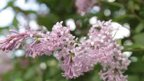 A lilac bush in the summer, windy day. A lilac bush during flowering. A fragrant lilac flowers shrub - a symbol of spring, youth and tenderness stock footage