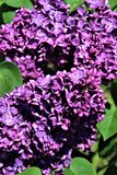 Lilac Bush, Syringa Vulgaris, blossomed with vibrant flowers. Vibrant purple colored blossoms on a lilac bush, Syringa Vulgaris, located in Malone, New York stock photography