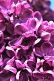Lilac Bush, Syringa Vulgaris, blossomed with vibrant flowers. Vibrant purple colored blossoms on a lilac bush, Syringa Vulgaris, located in Malone, New York stock photos