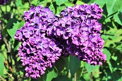Lilac Bush, Syringa Vulgaris, blossomed with vibrant flowers. Vibrant purple colored blossoms on a lilac bush, Syringa Vulgaris, located in Malone, New York royalty free stock photos
