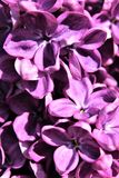 Lilac Bush, Syringa Vulgaris, blossomed with vibrant flowers. Vibrant purple colored blossoms on a lilac bush, Syringa Vulgaris, located in Malone, New York royalty free stock photo
