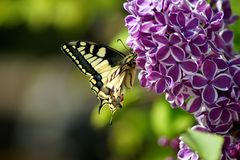 Swallowtail Butterfly Papilio machaon on purple lilac bush blooming stock image