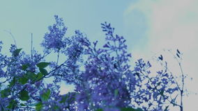 Lilac bush and tree (vertical pan). Spring lilac branches are swaying Taganrog, Russia stock footage