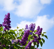 Lilac bushes against the sky Royalty Free Stock Image