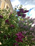 Lilac bushes with flowers of three different colours Stock Image