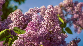 Lilac bushes in full bloom in the spring on blue kly background. 4K 3840 x 2160 ultra high definition footage stock video