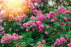 Lilac bushes Royalty Free Stock Images