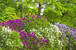 Lilac bushes park summer leaves flowers trees forest beauty Stock Photo