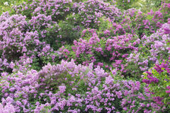 Lilac bushes in a spring garden Royalty Free Stock Photography